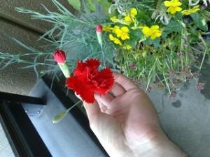 カーネーションが咲きました。