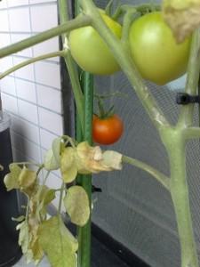 デルモンテトマトに待望の実が付きました